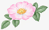 Illustration of Rosa acicularis (Wild Rose), with pale pink flower, yellow stamen and green leaves