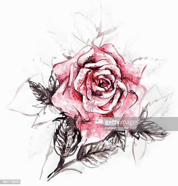 Illustration of rose on white background