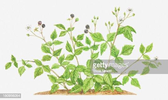 Illustration of Rubus caesius (Dewberry), bearing flowers and fruit : Stock-Illustration