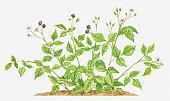Illustration of Rubus caesius (Dewberry), bearing flowers and fruit