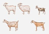 Illustration of Saanen, Angora, African Pygmy, Anglo-Nubian and Toggenburg goats