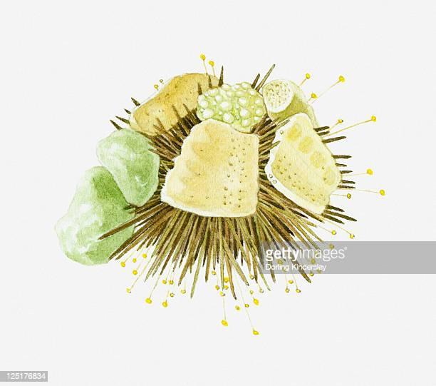 Illustration of sea urchin under rocks