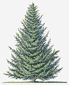 Illustration of shape of evergreen Abies balsamea (Balsam Fir) tree