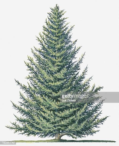 Illustration of shape of evergreen Abies balsamea (Balsam Fir) tree