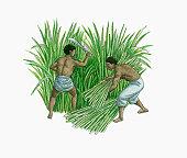 Illustration of slaves harvesting sugarcane on plantation