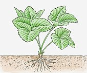 Illustration of strawberry plant with roots