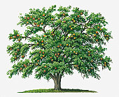 Illustration of Strychnos nux-vomica (Strychnine) tree bearing orange fruit
