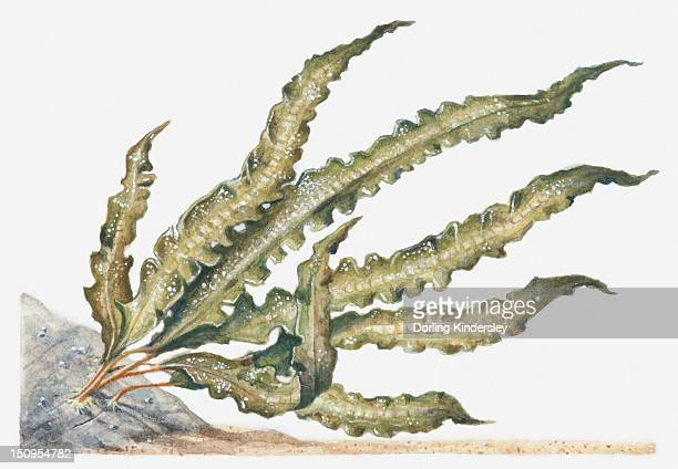Illustration of Sweet Wrack (Laminaria saccharina) seaweed attached to rock underwater