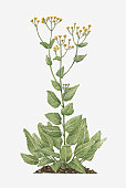 Illustration of Tanacetum balsamita, or Balsamita vulgaris (Alecost) bearing yellow button-like flowers on tall stems with green leaves below