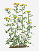 Illustration of Tanacetum vulgare (Common Tansy) bearing yellow button-like flowers on tall stems with pinnately lobed green leaves below