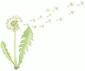 Illustration of Taraxacum officinale (Common Dandelion), seed dispersal from dry flower head after pollination