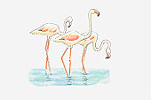 Illustration of three Greater Flamingo (Phoenicopterus roseus) standing in water