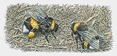 Illustration of two bumblebees on nest