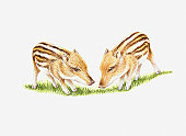 Illustration of two Wild Boar (Sus scrofa) piglet
