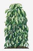 Illustration of Vanilla planifolia (Flat-leaved Vanilla) with large flat leaves