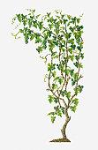 Illustration of Vitis vinifera (Common Grape Vine) bearing bunches of ripe green fruit