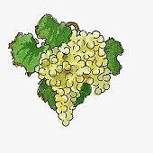 Illustration of white grapes
