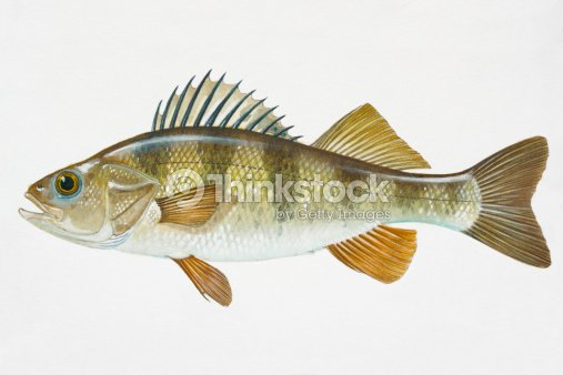 Illustration of yellow perch north american freshwater for North american freshwater fish