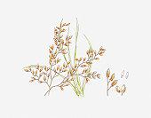 Illustration of Zizania (Wild Rice) and seeds