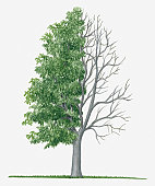 Illustration showing shape of deciduous Acer carpinifolium (Hornbeam Maple) tree with green summer foliage and bare winter branches