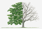 Illustration showing shape of deciduous Acer cissifolium (Vine-leafed Maple, Vineleaf Maple) tree with green summer foliage and bare winter branches