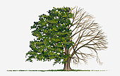 Illustration showing shape of deciduous Carpinus betulus (European or Common Hornbeam) tree with green summer foliage and bare winter branches