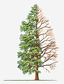 Illustration showing shape of deciduous Metasequoia Glyptostroboides (Dawn Redwood) tree with green summer foliage and bare winter branches