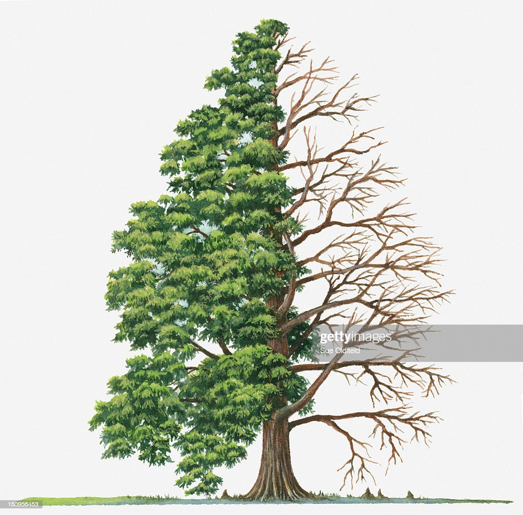 Illustration showing shape of deciduous Taxodium distichum (Bald-cypress, Swamp Cypress) tree with green summer foliage and bare winter branches : Stock Illustration