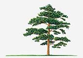 Illustration showing shape of Pinus densiflora (Japanese Red Pine) tree bearing green foliage