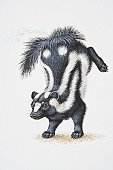 Illustration, Striped Skunk (Mephitis mephitis) standing on forelegs with its hind legs thrown up in the air, side view.
