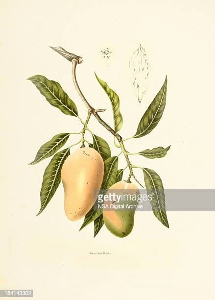 Indian mango | Antique Plant Illustrations