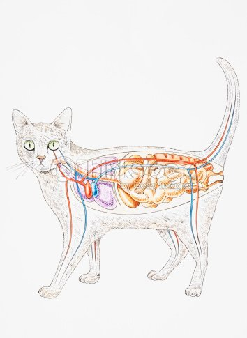 Internal Anatomy Of Domestic Cat Showing Organs Stock Illustration ...