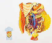 Internal anatomy of human digestive system