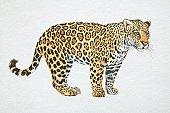Jaguar, Panthera onca, side view.