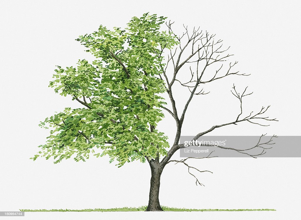 Juglans Cinerea (Butternut): Illustration showing shape of deciduous Juglans cinerea (Butternut) tree with green summer foliage and bare winter branches : Stock Illustration