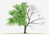 Juglans Cinerea (Butternut): Illustration showing shape of deciduous Juglans cinerea (Butternut) tree with green summer foliage and bare winter branches