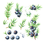 Juniper berries and branches set. Watercolor hand drawn illustration, isolated on white background