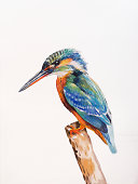 Kingfisher, Alcedo atthis.  watercolor on paper.