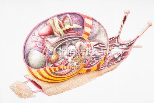 Land Snail Internal Anatomy Crosssection Stock Illustration Thinkstock