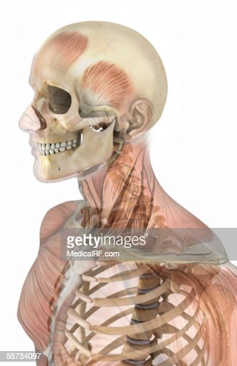 lateral view of the human skeleton within a male head and thorax, Skeleton