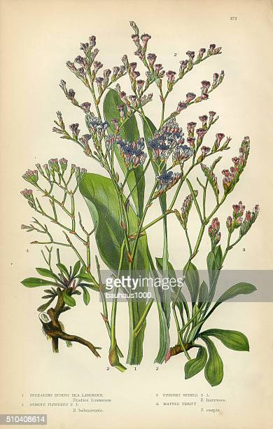 Lavender, Sea Lavender, Lavandula, Mint, Victorian Botanical Illustration