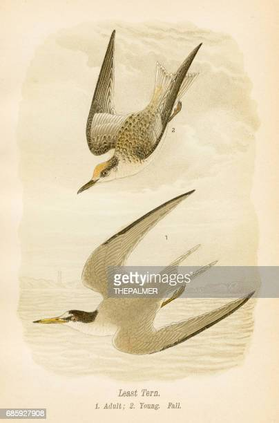 Least tern bird lithograph 1890