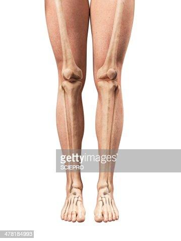 leg anatomy artwork stock illustration | getty images, Human Body