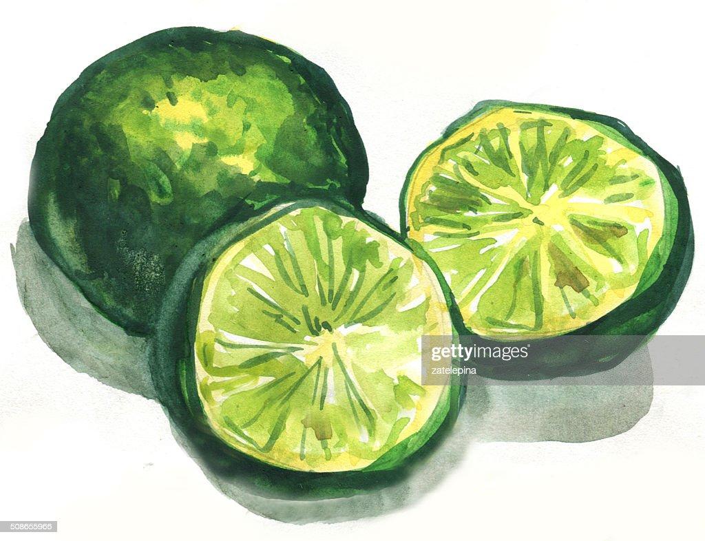 lime citrus fruit, watercolor painting : Stock Illustration