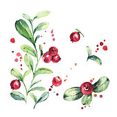 Set of wild northern berries. Lingonberry, foxberry, cowberry, cranberry. Watercolor painting