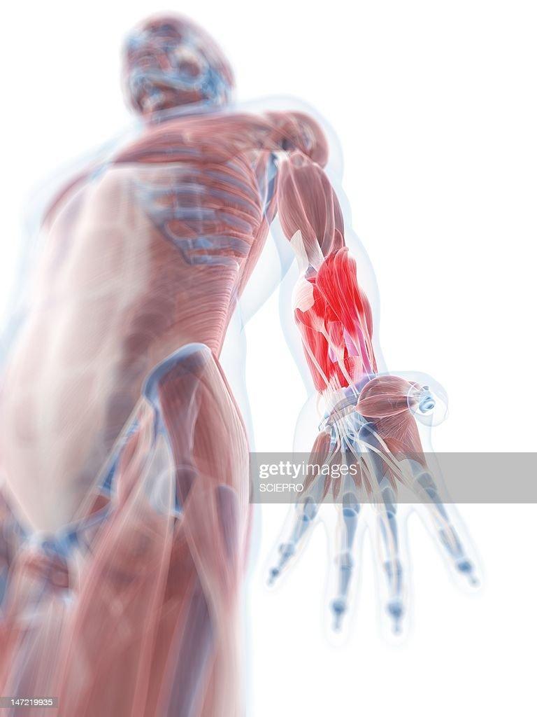 Lower Arm Anatomy Artwork Stock Illustration Getty Images