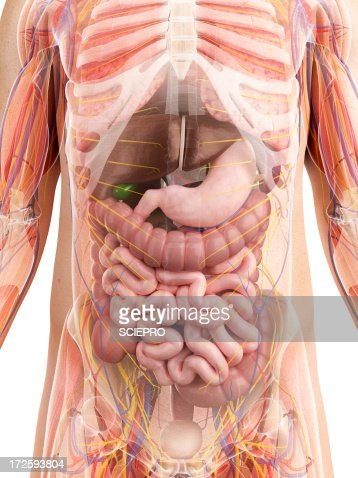 Male Anatomy Artwork Illustration | Getty Images