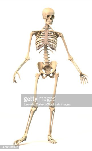 anatomy of male human skeleton side view and perspective view, Skeleton