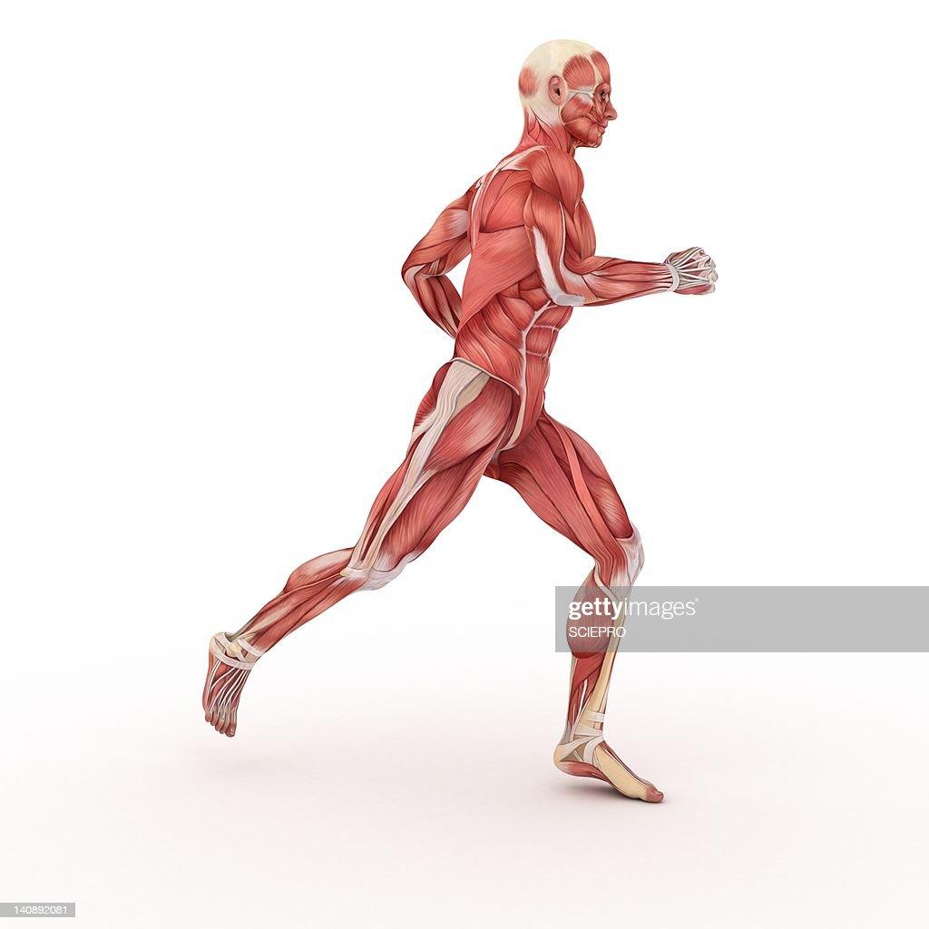 Male muscles, artwork : Stock Illustration