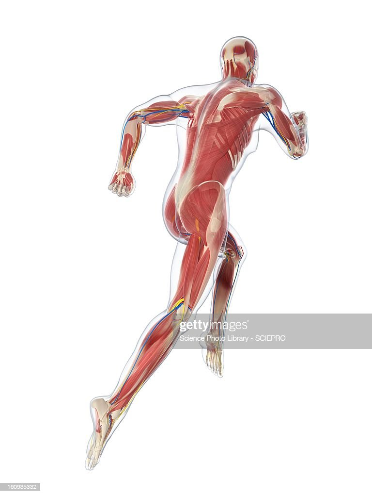 Male musculature, artwork : Stock Illustration